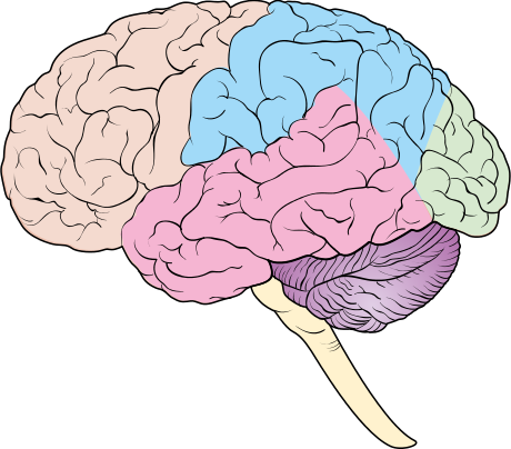 Diagram showing some of the main areas of the brain CRUK ...