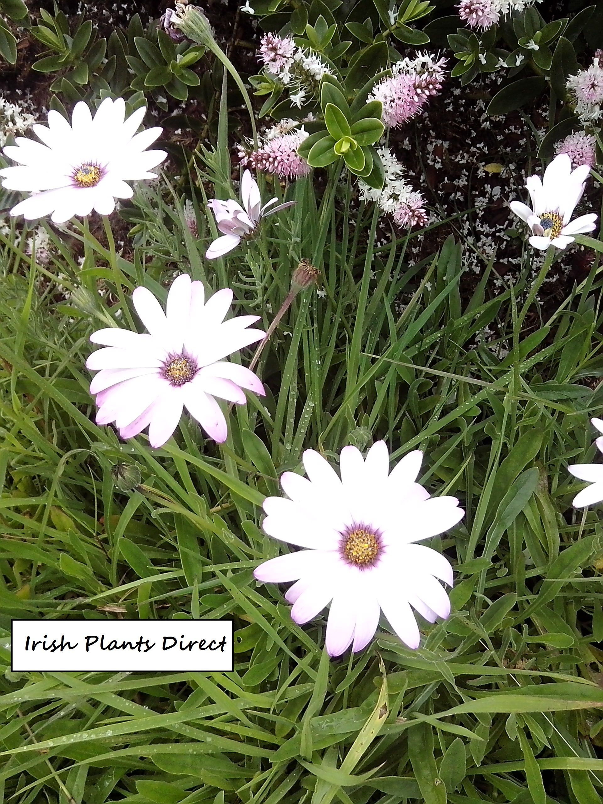 Osteospermum lady leitrim the wonderful daisy like flowers have the wonderful daisy like flowers have smothered this plant all summer its sweet scent makes weeding this flowerbed bed a joy izmirmasajfo