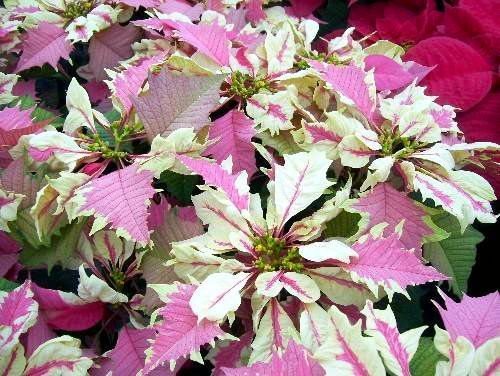 Poinsettia Colors Among The Varieties