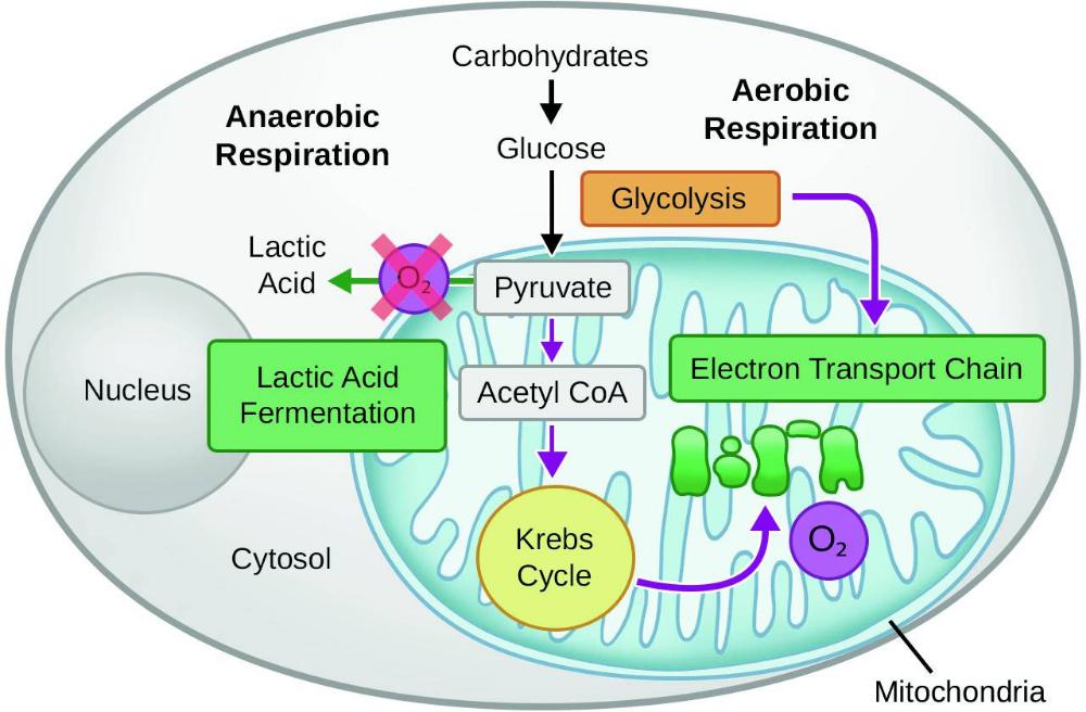 Mitochondria Cellular Respiration Images Google Search Cellular Respiration Mitochondria Anaerobic Respiration