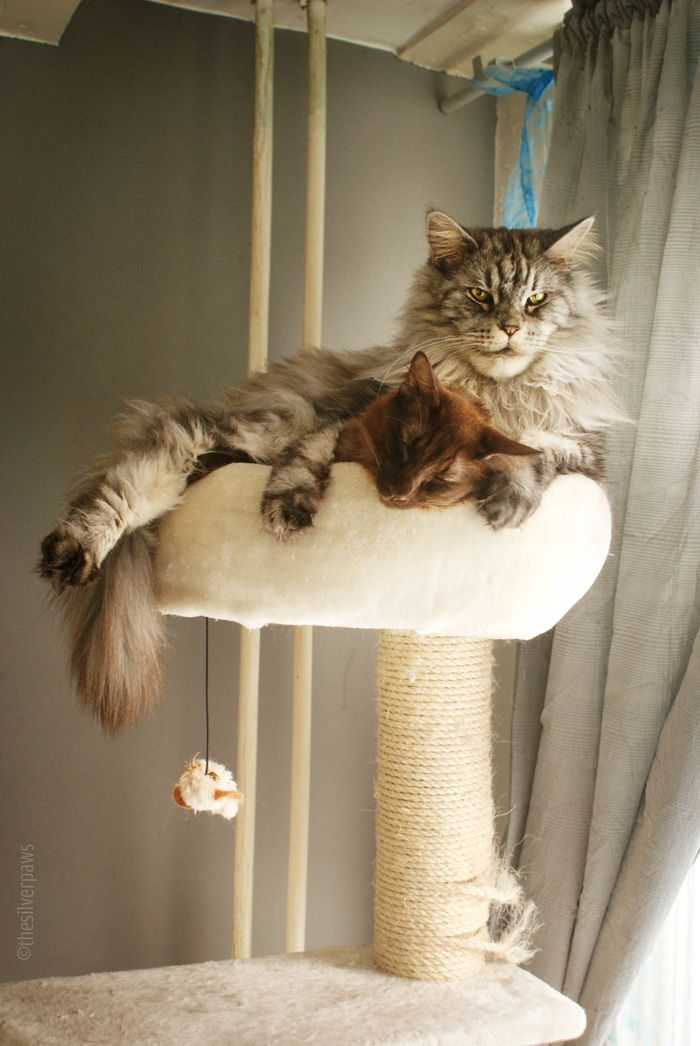 My paws maine coon