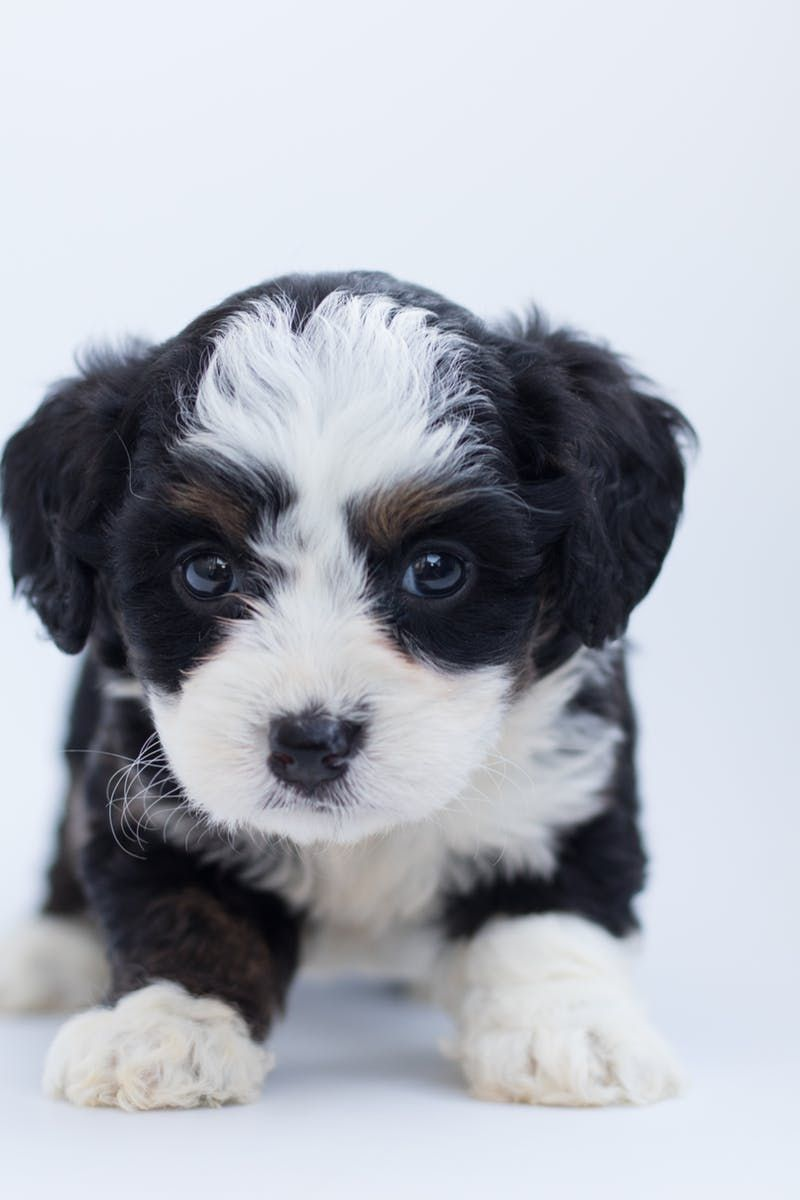 Black And White Maltese Puppy Dog Luve Stories Luveurpet Dog