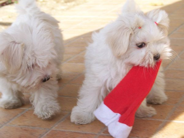cachorros de perro de raza bichón maltés preparandose para navidad