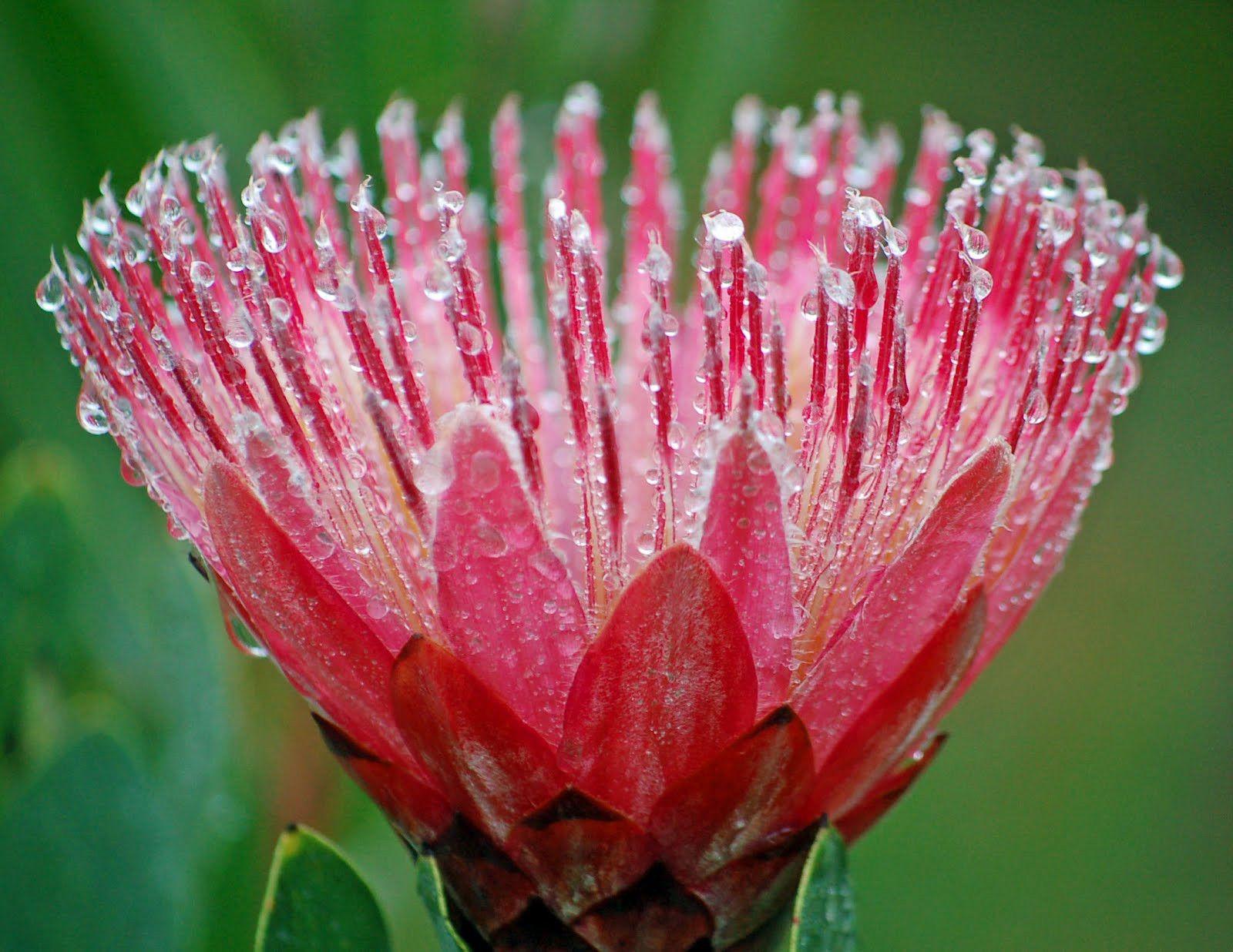 The Latest Trend In Protea Plant Uk Protea Plant Uk In 2020 Plants Uk Protea Plant Plants