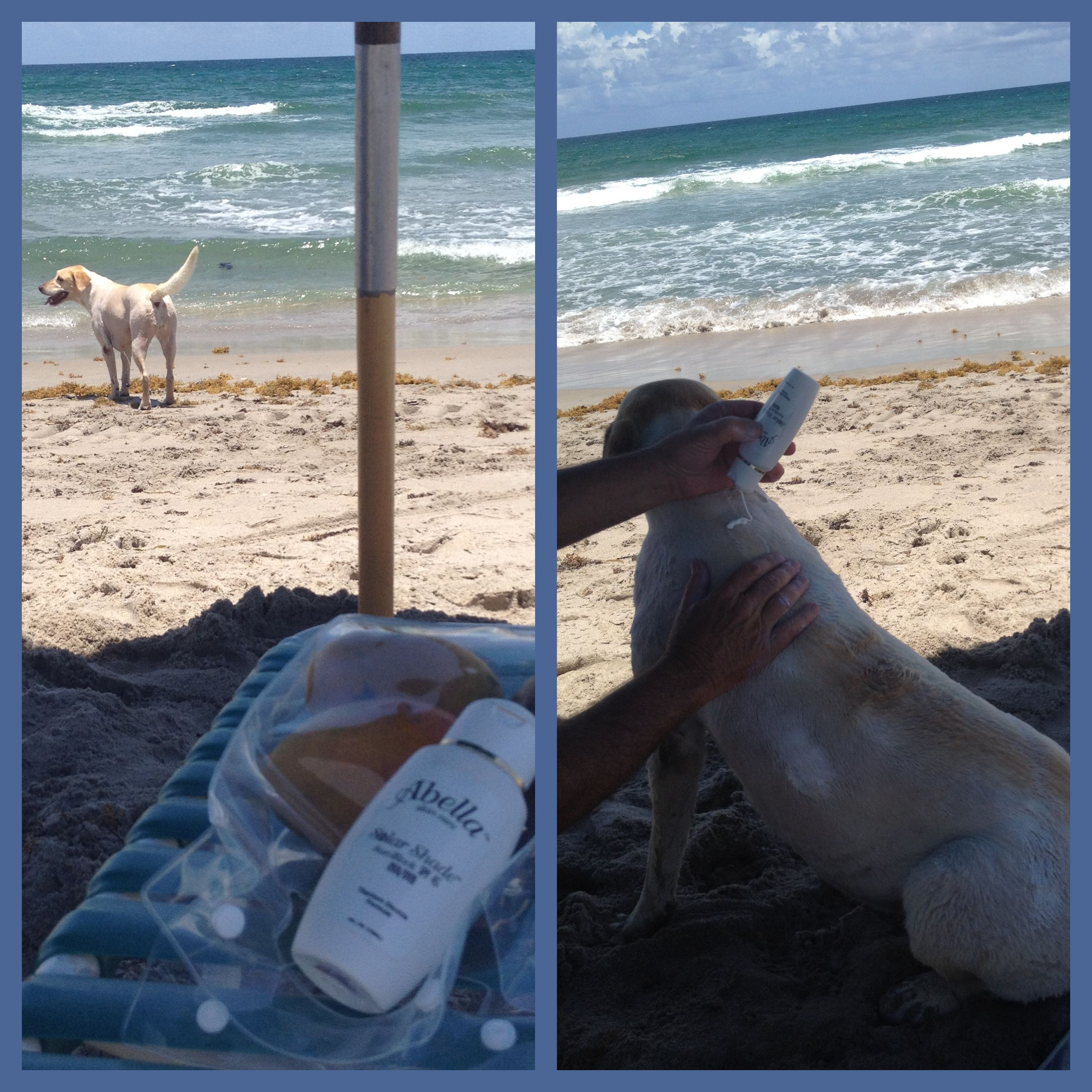 It officially Summer and it is time for some fun in the sun. When you think about sun protection for your family do not forget you furry family members. Featured in our photo is Mango of Delray Beach, FL. Before she enjoys her daily swim Mango waits patiently while the SolarShade SPF 45 is applied to her skin. Now she is ready to chase the fish.  Full Blog http://www.abellaskincare.com/blog/