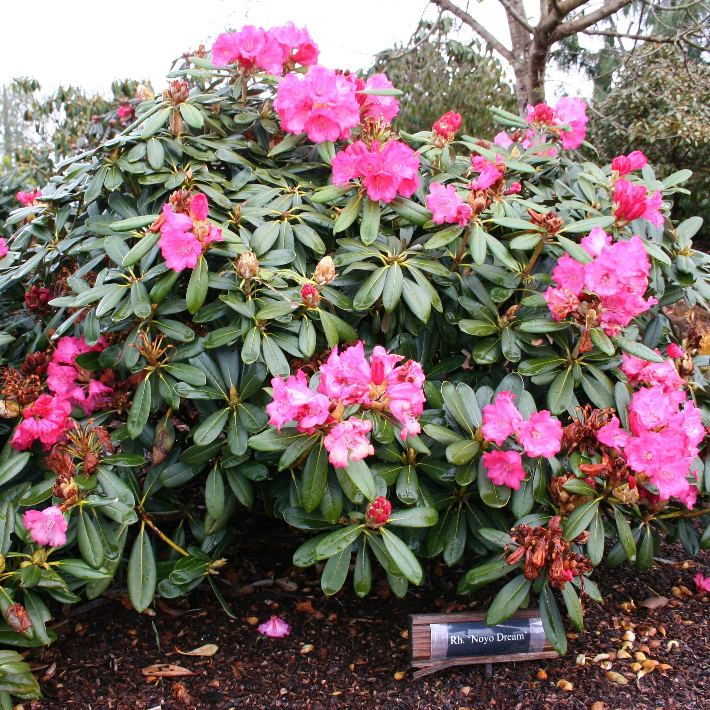 Bulletproof rhododendrons rhodies for sea coast wind and for Large flowering shrubs