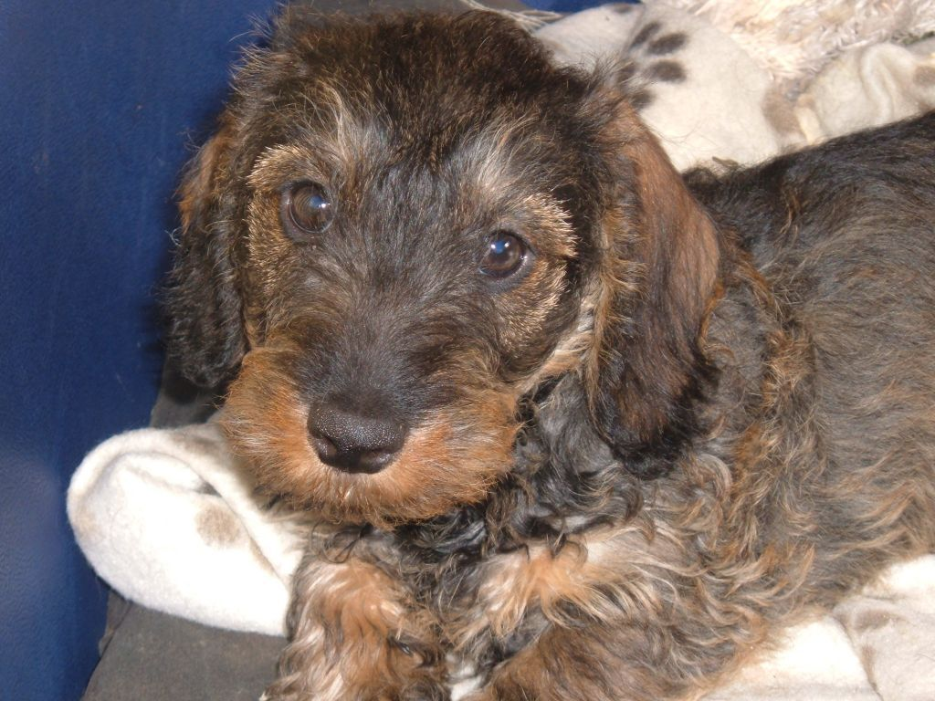 The Hair Coat Of The Dachshund Is Of Medium Sized Tough Hair Which Hives The Hair A Wiry Look Miniature Wire Haired Dachshund Wire Haired Dachshund Dog Hives