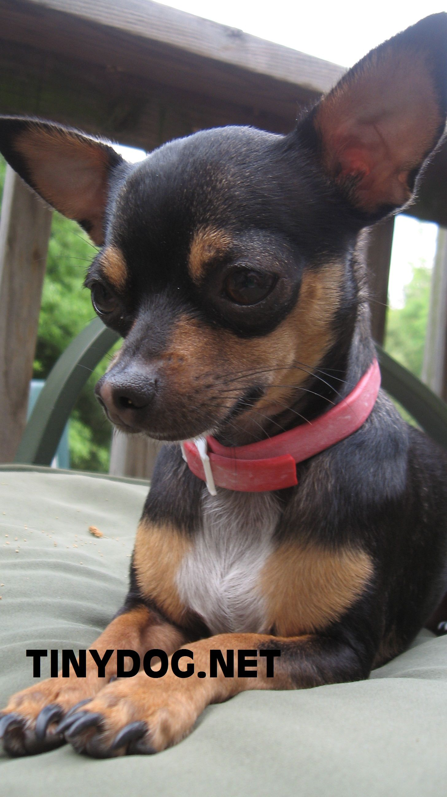 Chihuahua Weight Chart Overweight A Dog Small Change 1 2 Pound Huge Difference Earance Read More On Dogs Tips At The Image