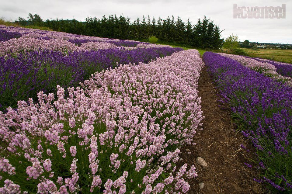 Lavender Fest, Sequim, Purple Haze Lavender Farm, July 21, 2012     Photo Credit -KCVensel Photography