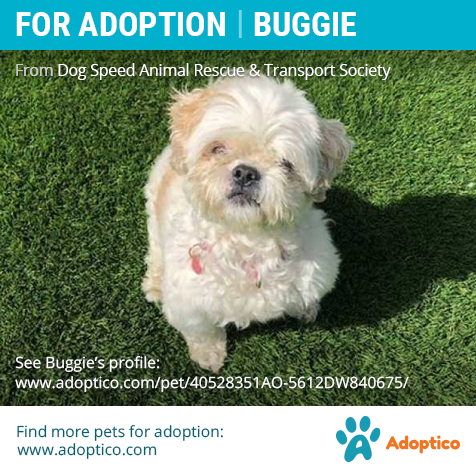 This Sweet Boy Is Looking For A New Home Check Out Buggie S Profile Https Adoptico Com Dog Adoption Male Shih Tzu Arthur On Pets Dog Adoption Pet Adoption