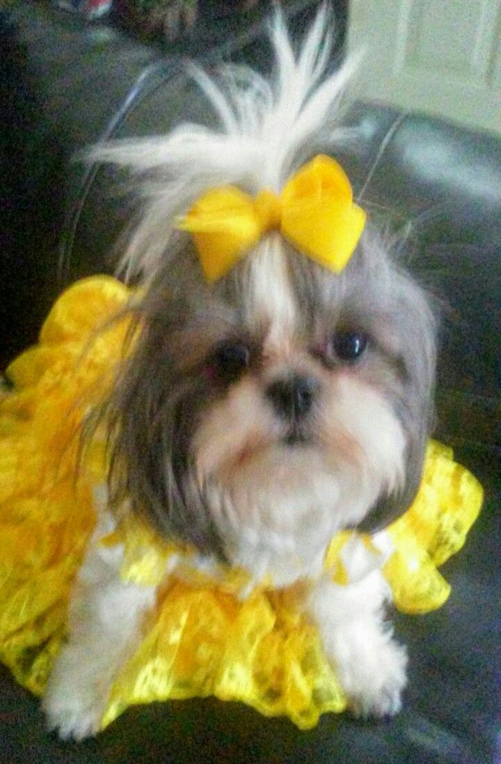 Shih Tzu Sweet Baby Girl In Her Minni Mouse Outfit Yellow