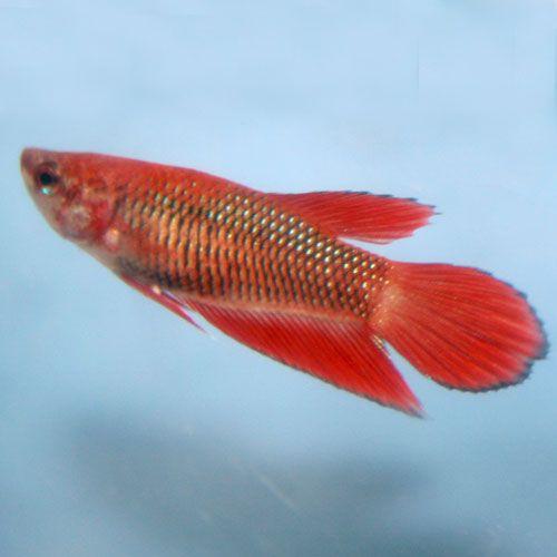 Betta veiltail red female veiltail betta betta for Red betta fish