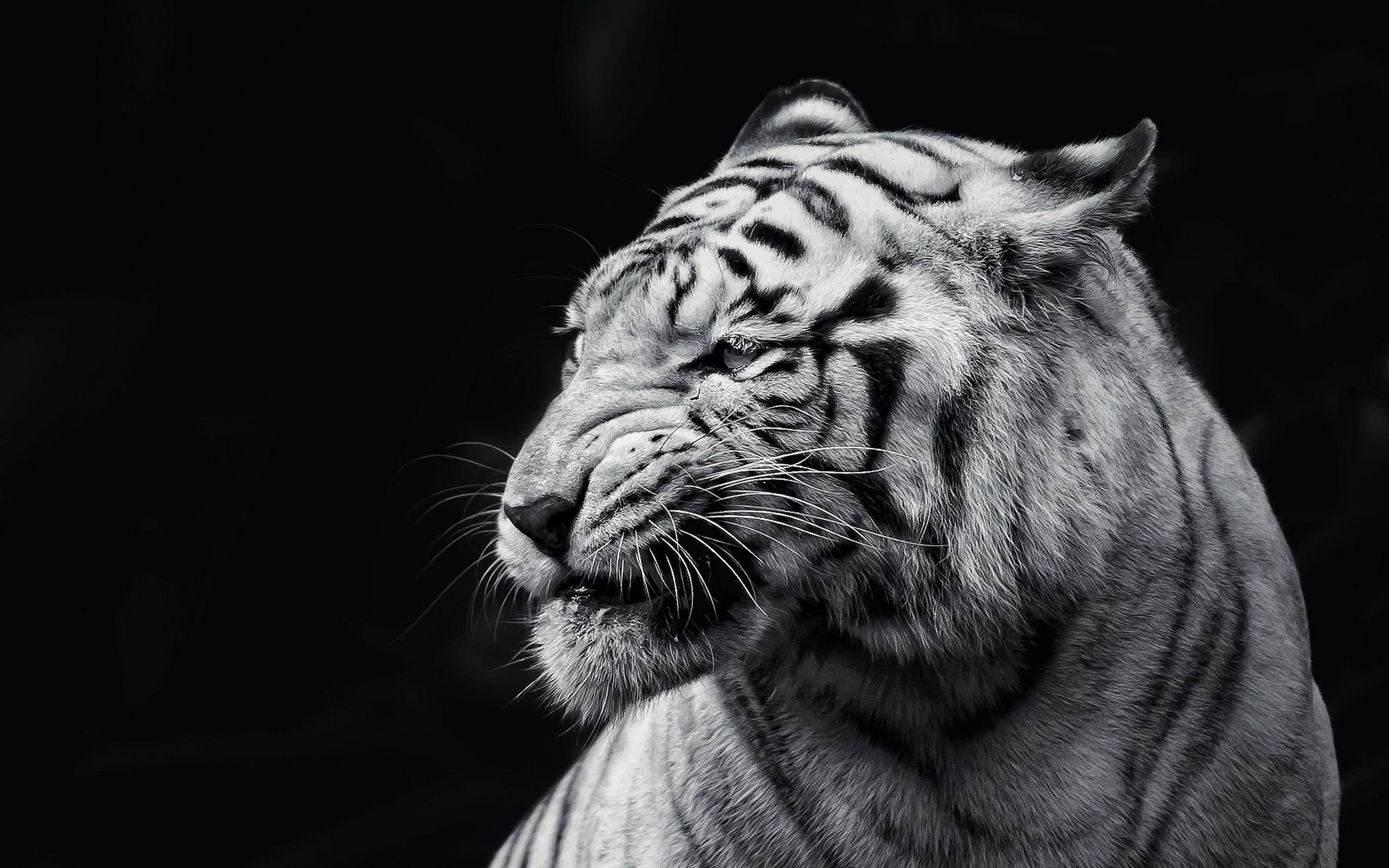 Lion Black And White Wallpapers 1080p On Wallpaper 1080p Hd Tiger Wallpaper Animals White Tiger