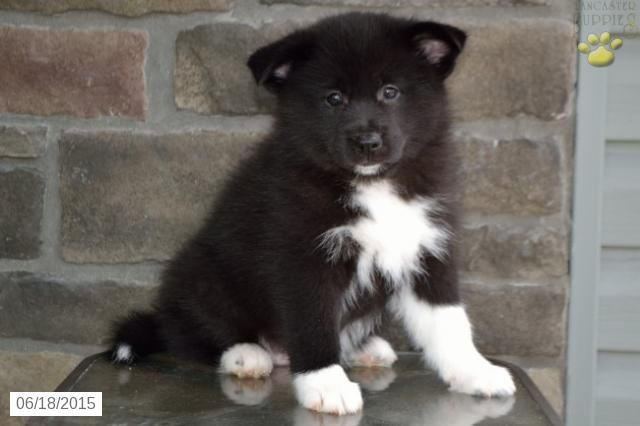 Pomsky Puppy For Sale In Ohio Buckeyepuppies Pomsky Puppies Puppies For Sale Pomsky