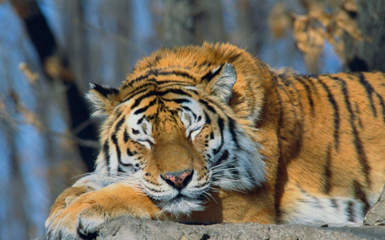 Siberian tiger Sleeping Siberian Tiger Russia Sleeping