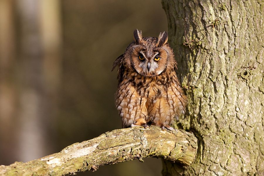 Mr Grumpy By Mark Bridger 500px Long Eared Owl Owl Species