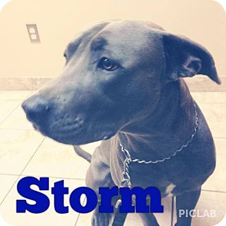 Nashville Tn Labrador Retriever Weimaraner Mix Meet Storm A