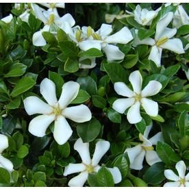 Monrovia 2 Gallon White Pinwheel Gardenia Flowering Shrub 097912s