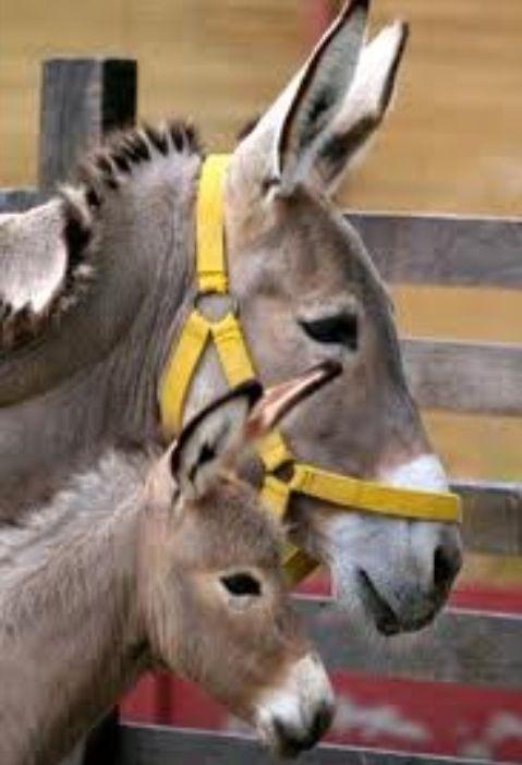 Donkey with Foal    ::::    PINTEREST.COM christiancross    ::::  looks familiar