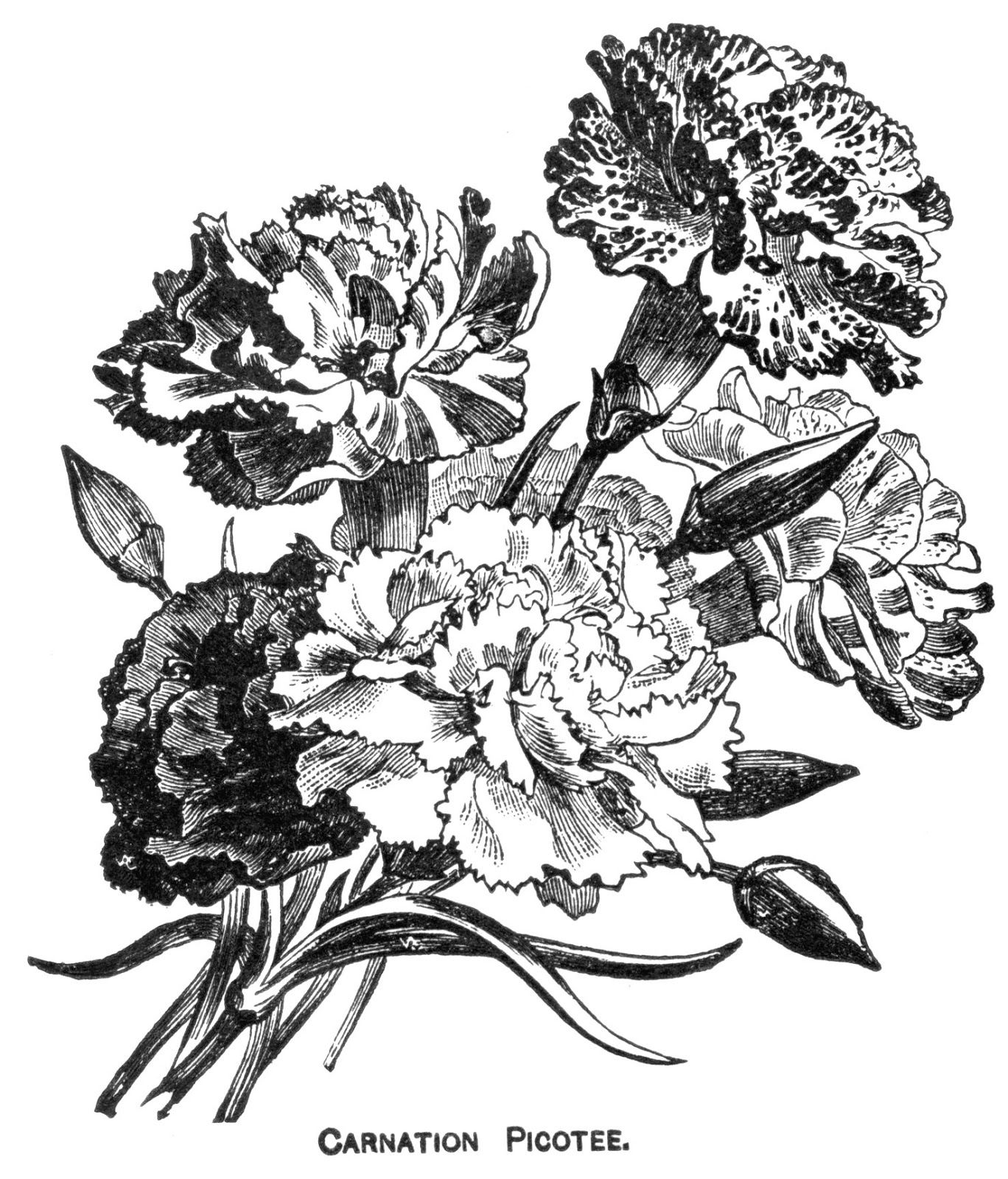 Digital Two For Tuesday Carnations Carnation Drawing Carnations Drawings