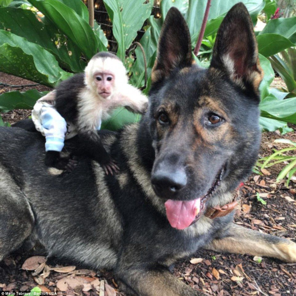 Igor The Dog Helps Raise Everything From Tigers To Chimps At