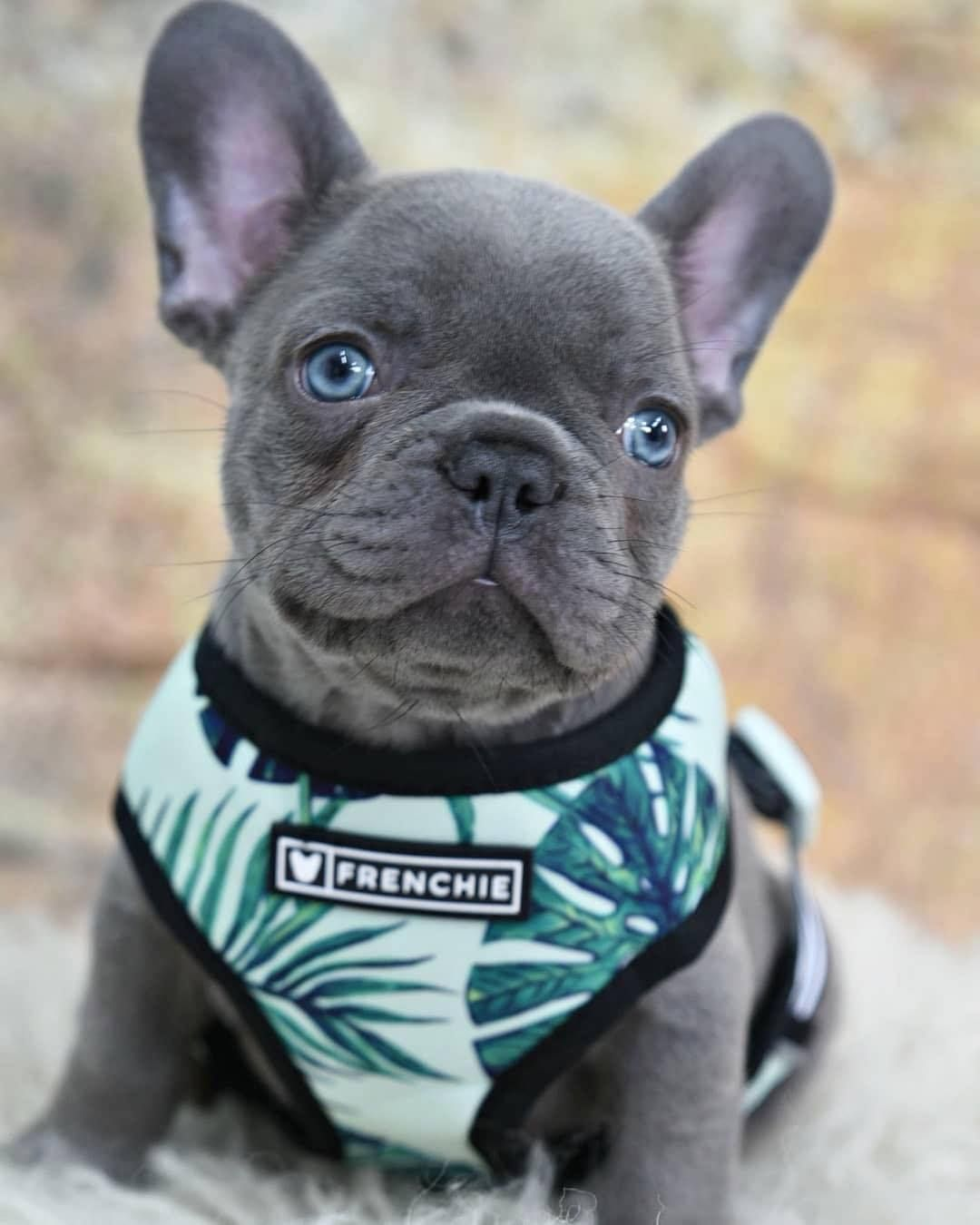 Source Instagram Com Frenchie Bulldog Raise Your Hand If You Want