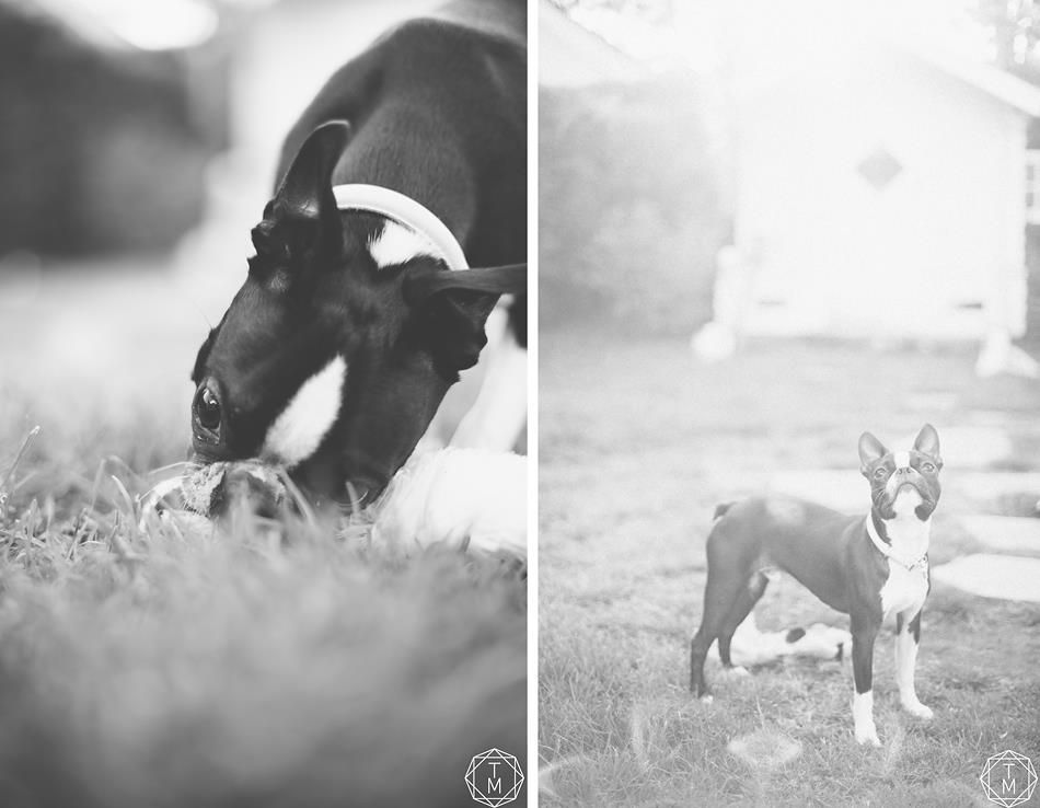 Balderboston terrier with images boston terrier mans