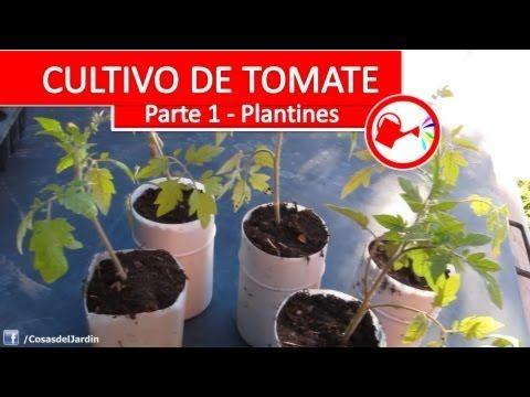 Cultivo de tomate parte 1 como plantar tomates - Como plantar marihuana en casa paso a paso ...