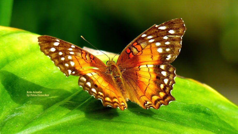 Pin Von Didona Balazs Auf Butterflies