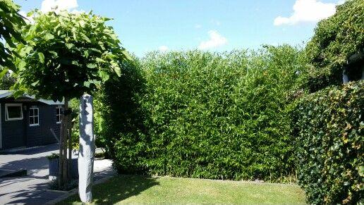 Bamboe haag als afscheiding in moderne strakke tuin