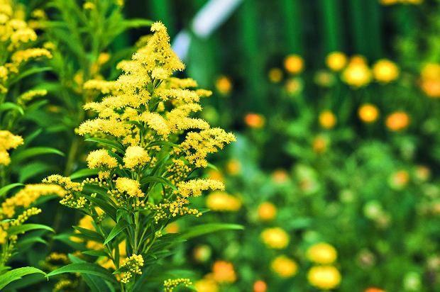 Zdjecie Numer 4 W Galerii Nawloc Pospolita Astry Marcinki Najpiekniejsze Kwiaty Jesieni Beautiful Flowers Plants Flower Tattoos