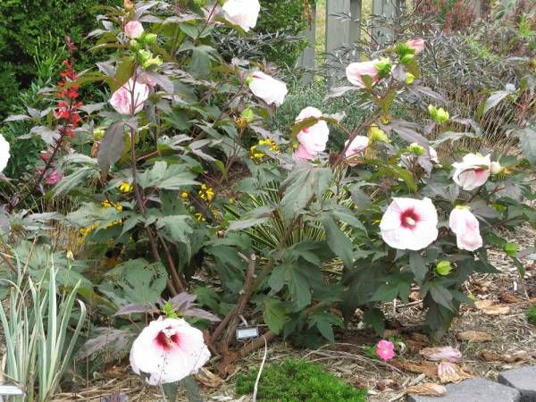 How To Grow Hardy Hibiscus Or Rose Mallow | Backyard Gardening Blog