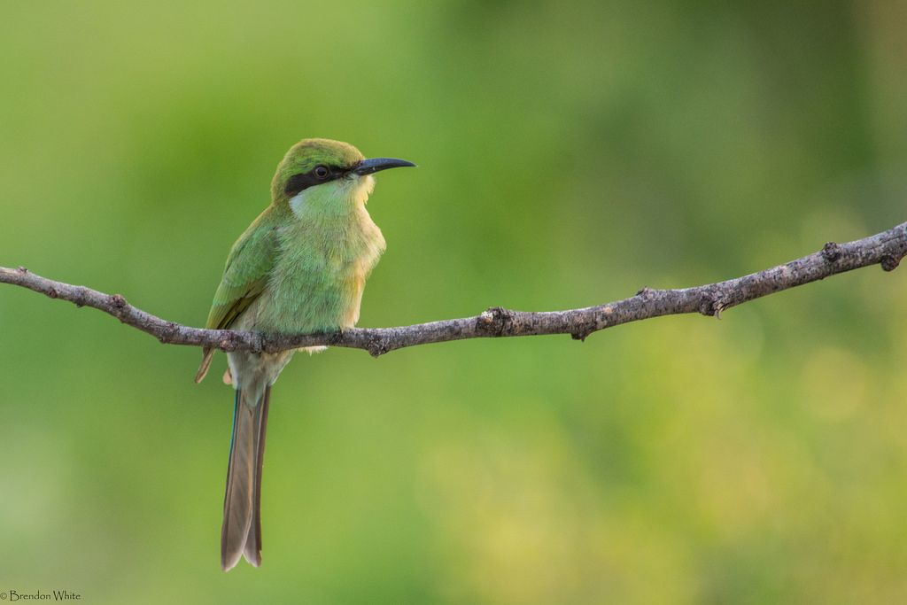 Swallow-tailed Bee-eater (Merops hirundineus) by Brendon White