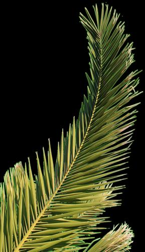 Branche de palmier simply chill pinterest palmier dessin feuille palmier et arbre exotique - Dessin de palmier ...