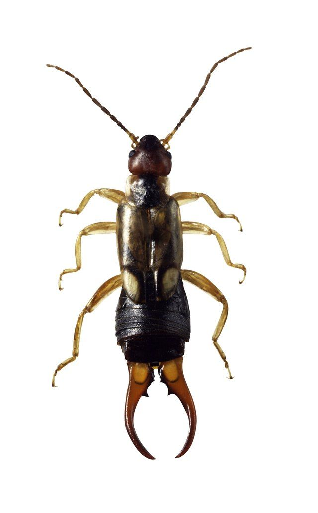 Natural Methods for Getting Rid of Earwigs | Hunker #insects
