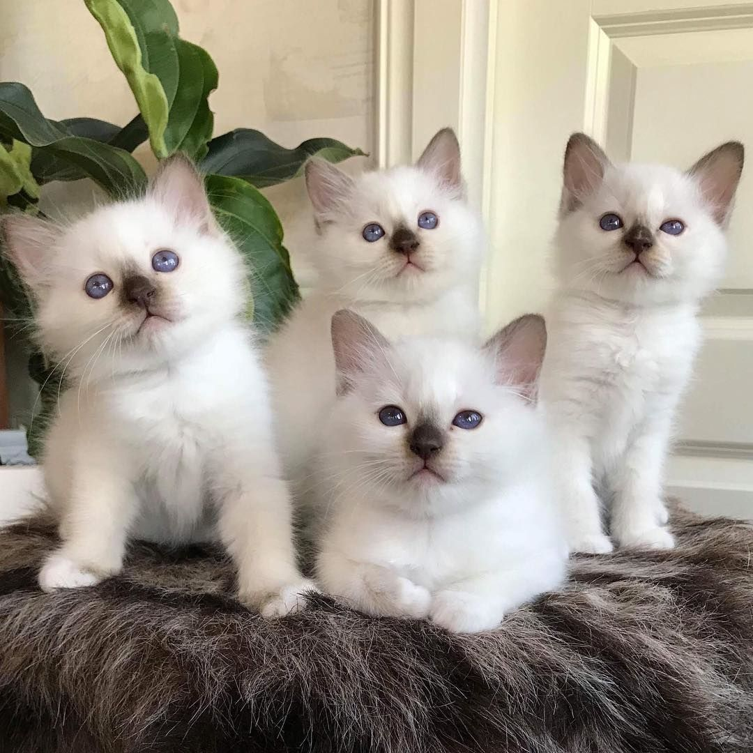 Pin By Kate Brown On Beautiful Creatures With Images Birman Kittens Birman Cat Birman Cats For Sale