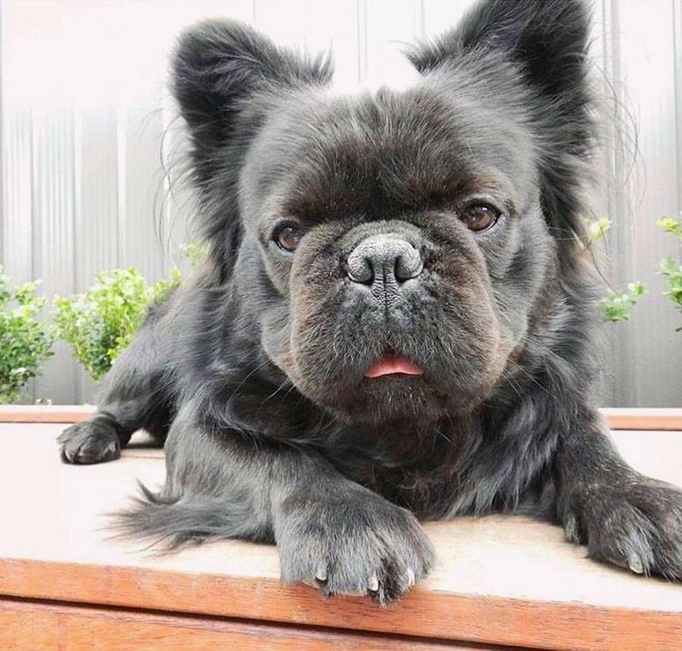 Https Www Facebook Com Photo Php Fbid 10210576954319891 Set Pcb 10155580148493859 Type 3 Theater Bulldog Puppies Bulldog French Bulldog Puppies