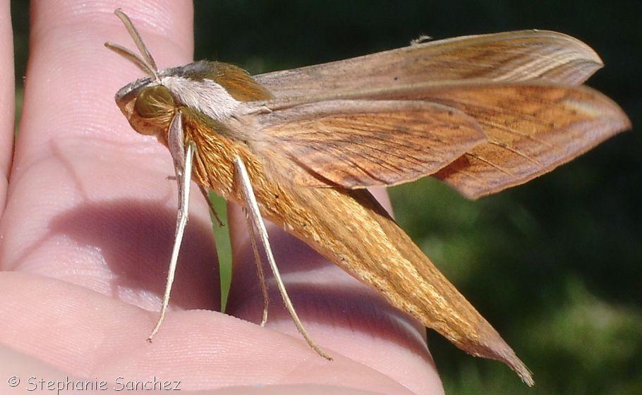 Tersa Sphinx moth   Bug   Moth, Moth fly, Moth caterpillar