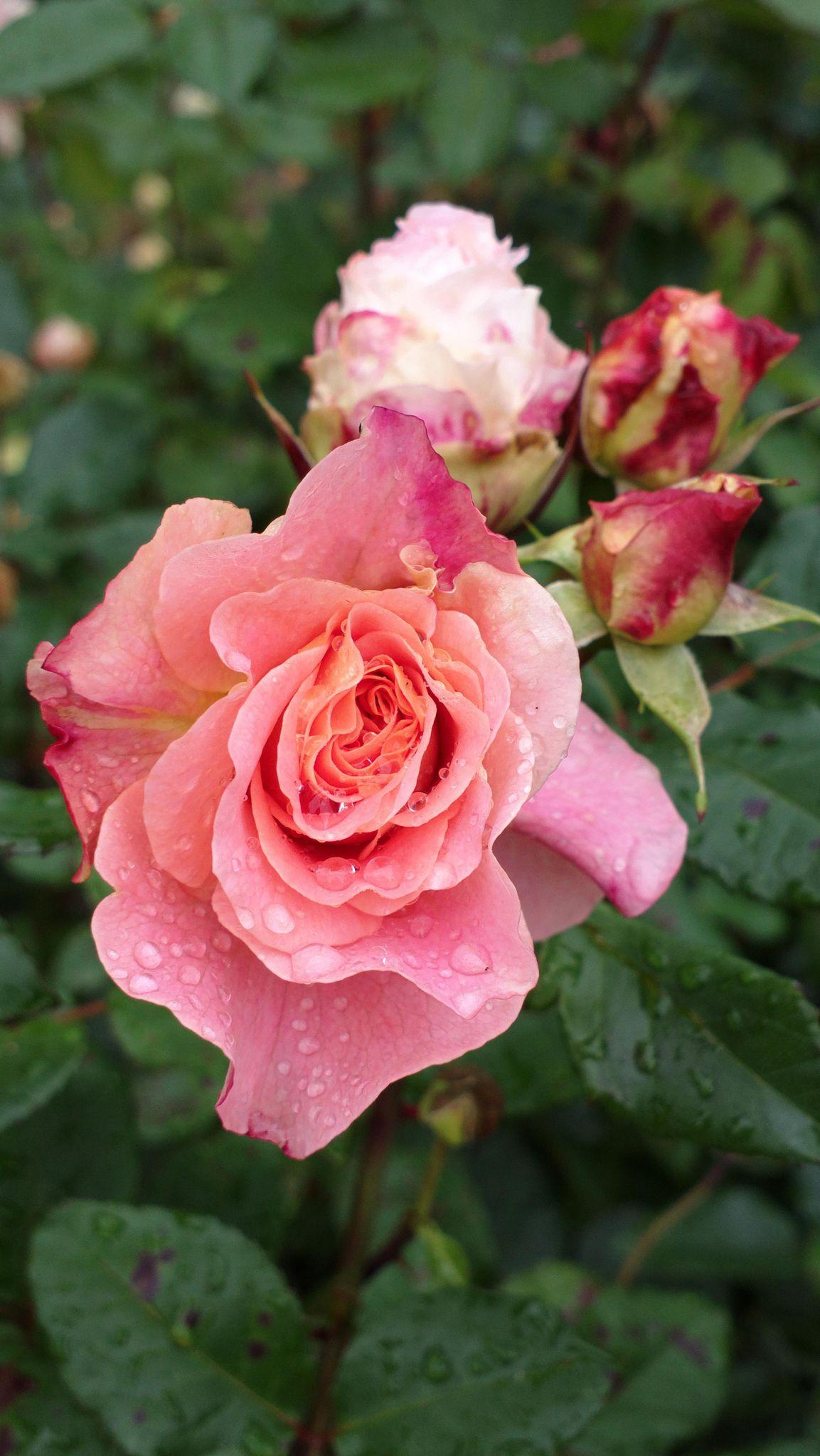 'Augusta Luise' | Hybrid Tea Rose. Hans Jürgen Evers (Germany, 1999) | Flickr - © KamalaKala