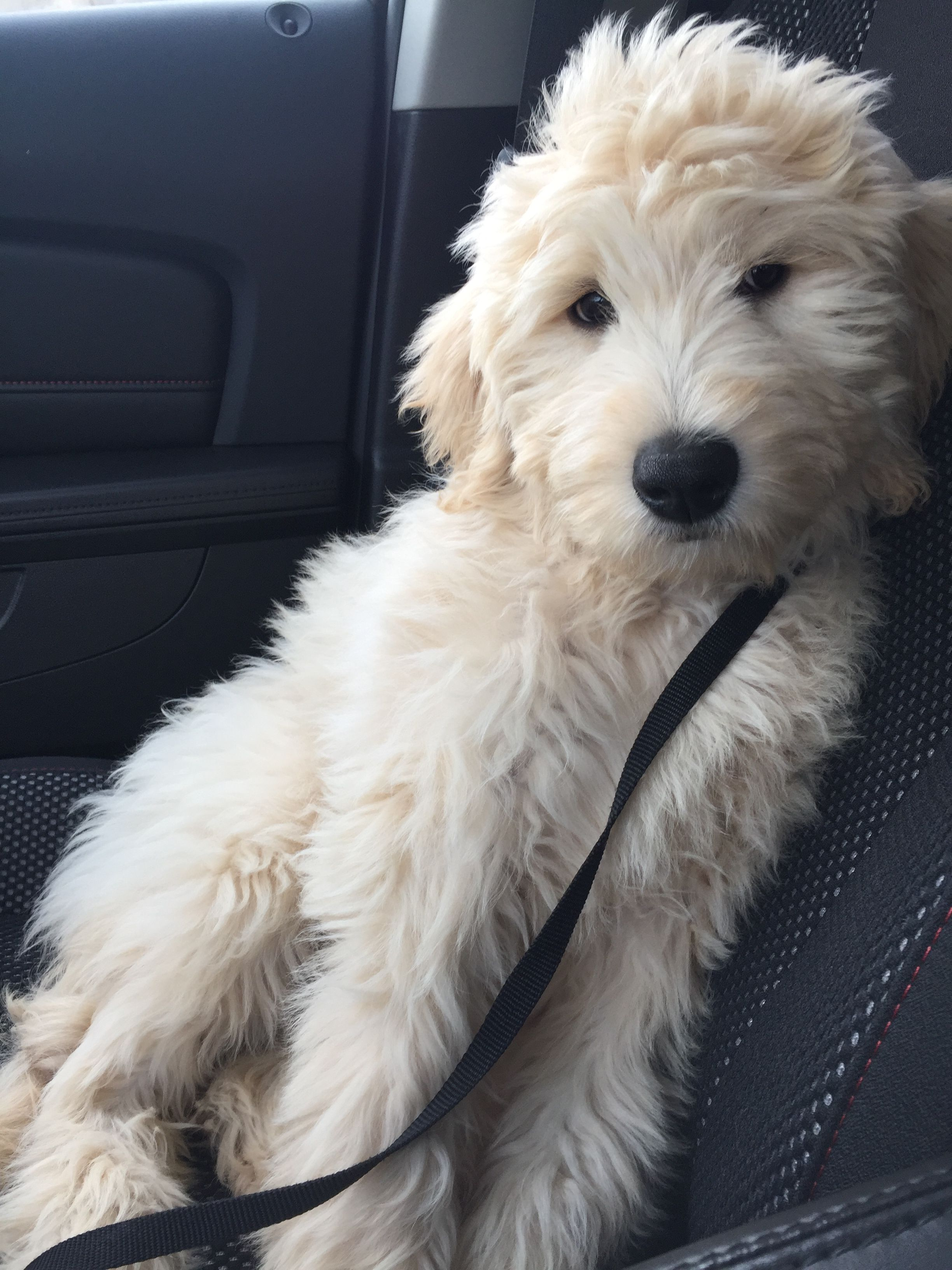 My goldendoodle, Lucy Puppies, Goldendoodle, Dogs