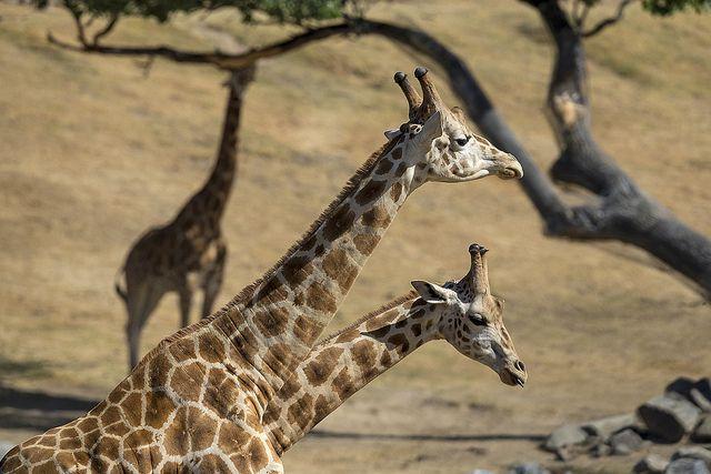 Giraffe Buddies | Flickr: Intercambio de fotos