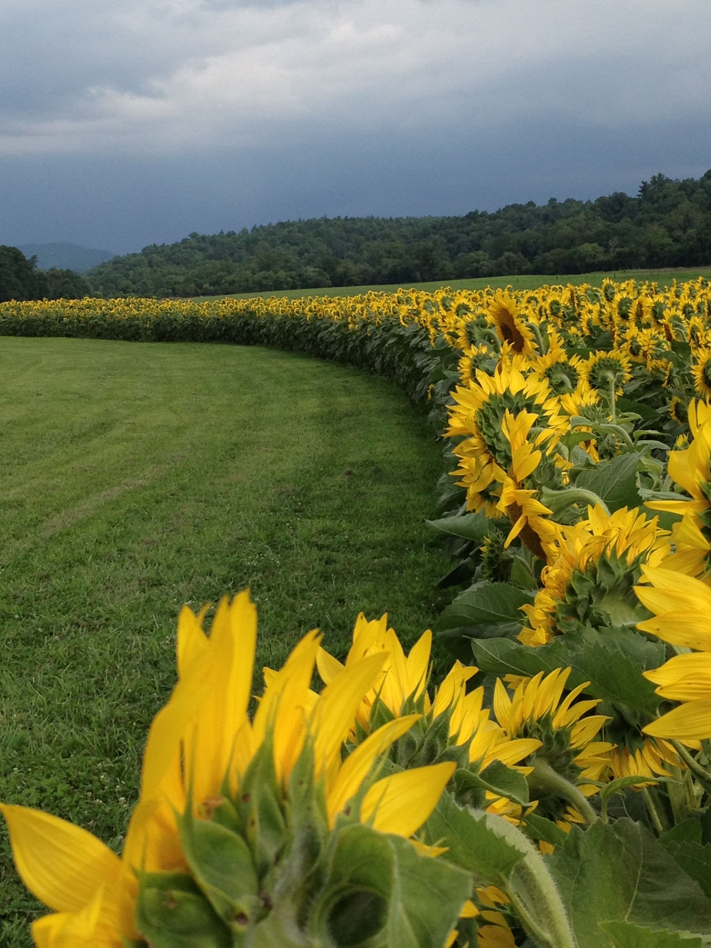 Sunflower fields at Biltmore Estate