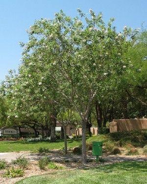 Chitalpa tree the drought tolerant chitalpa tree chitalpa for Fast growing drought tolerant trees