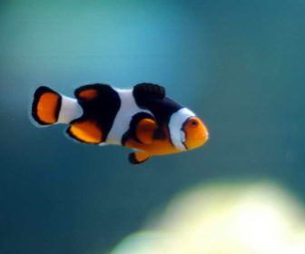 Clown Fish Adaptations Facts With Color Black White And Orange Clown Fish Adaptations Facts Fish