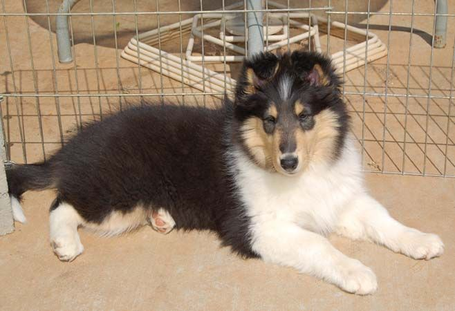 Rough Collie Puppy Collie Dog Rough Collie Rough Collie Puppy