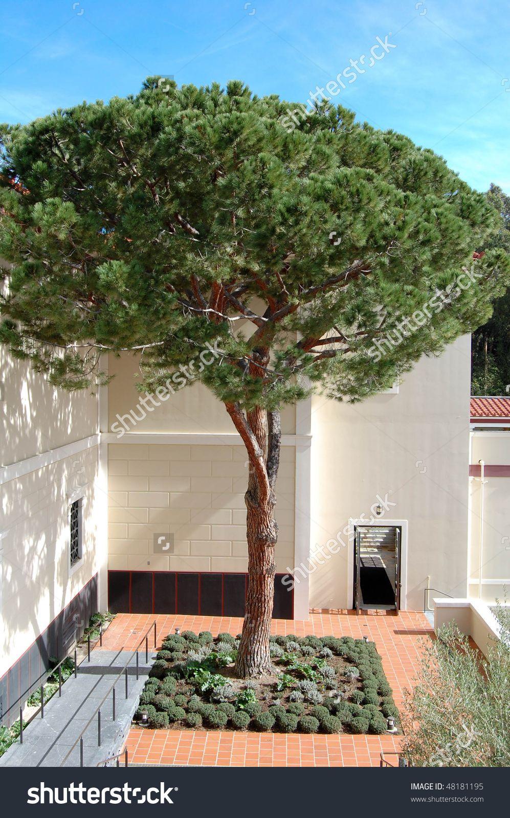 Italian Stone Pine Tree Garden Farm