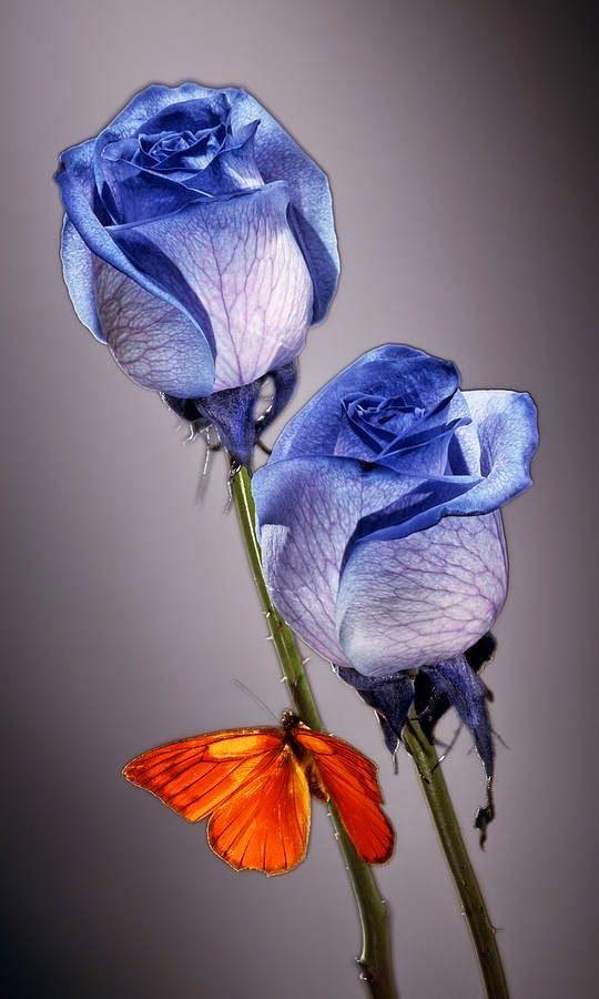 Belle Image Rose Bleu rose blanche dans du liquide bleu … | butterflies | pinterest