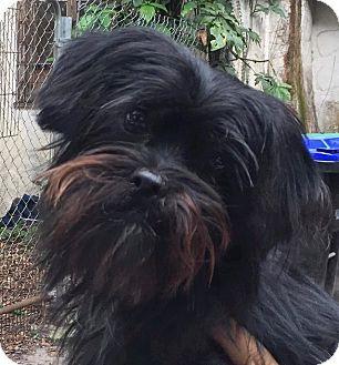 Yorkie Yorkshire Terrier Shih Tzu Mix Dog For Adoption In Orlando Florida Luna Yorkshire Terrier Yorkie Yorkshire Terrier Dog Adoption