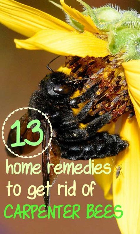 Home Remedy Hacks 13 Home Remedies To Get Rid Of Carpenter Bees Carpenter Bee Carpenter Bee Spray Carpenter Bee Trap