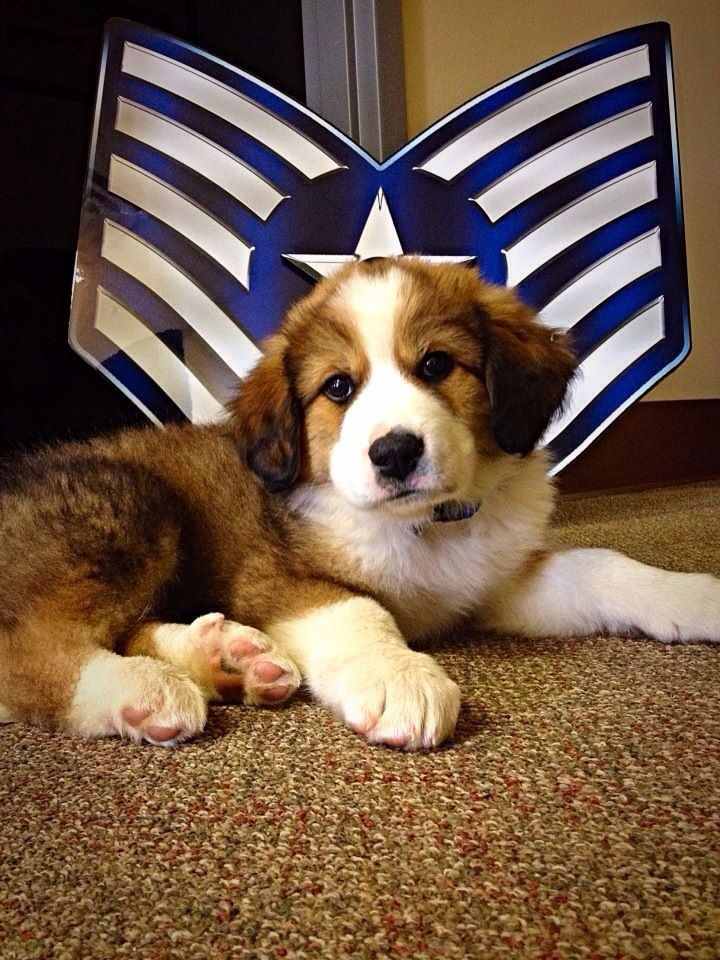 Moses 7wks Old Great Pyrenees And Bernese Mountain Dog Mix